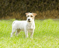 Jack russell terrier a small white and tan rough coated dog standing on the grass looking very happy it is known for being Stock Photos