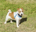 Jack russell terrier a small white and tan rough coated dog standing on the grass looking very happy wearing a black and blue Stock Images