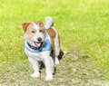 Jack russell terrier a small white and tan rough coated dog standing on the grass looking very happy wearing a black and blue Royalty Free Stock Photos