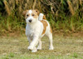 Jack russell terrier a small white and tan rough coated dog walking on the grass looking happy and proud it is known for being Royalty Free Stock Image