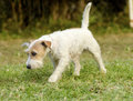 Jack russell terrier a small white and tan rough coated dog walking and smelling the grass looking happy it is known for being Stock Images