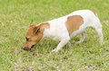 Jack russell terrier a small white and tan smooth coated dog walking on the grass looking very happy it is known for being Stock Image