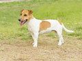 Jack russell terrier a small white and tan smooth coated dog walking on the grass looking very happy it is known for being Royalty Free Stock Photography