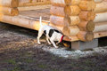 Jack Russell terrier sniffs the ground under log gazebo Royalty Free Stock Photo