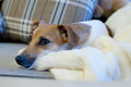 Jack russell terrier in the sofa Royalty Free Stock Photo