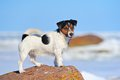 Jack russell terrier standing on the boulder Royalty Free Stock Images