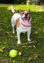 Jack Russell terrier wants to play ball Royalty Free Stock Images