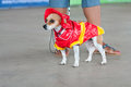 Jack russell terrier wears fireman costume in contest mcdonough ga usa may a is dressed a at the annual dog days of mcdonough Royalty Free Stock Images