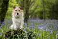 Jack Russell Terrier In The Wo...