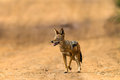 Jackal Blackbacked Wildlife Stock Photos