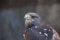 Jackal buzzard close up of a buteo rufofuscus at the radical raptors bird sanctuary in south africa Stock Photo