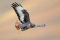 Jackal buzzard in flight Royalty Free Stock Photo