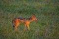 Jackal dog savannah grass field africa tanzania hunt food scavenger Royalty Free Stock Photos