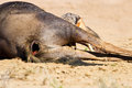 Jackal eating carcass in desert dead blue wildebeest Stock Images