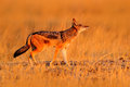 Jackal with evening sun. Black-Backed Jackal, Canis mesomelas mesomelas, portrait with long ears, Namibia, South Africa. Beautiful Royalty Free Stock Photo