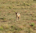Jackal a on grassy ground in southafrica Royalty Free Stock Photos