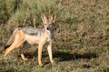 Jackal on the hunt alert hunting in serengeti shrub lands Stock Photography