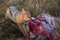 Jackal on a Kill South Africa Royalty Free Stock Photo