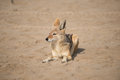 Jackal at Pelican Point Royalty Free Stock Photo