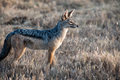 Jackal for prey search in the savannah Royalty Free Stock Image