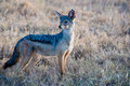 Jackal for prey search in the savannah Stock Photography