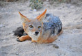 Jackal on sand looking upwards in africa Royalty Free Stock Image