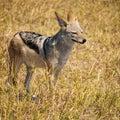 Jackal in the Savuti National Park in Botswana, Africa