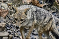 Jackal a shot of in forest dhikala Stock Photo