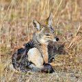 Jackal sitting in the grass Stock Photography