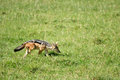 Jackal sniffing green grass field ngorongoro crater tanzania Royalty Free Stock Photography