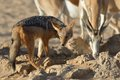 Jackal and springbok at waterhole in kgalagadi south africa Stock Image