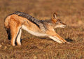 Jackal stretching after a morning snooze Stock Photos