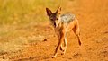 Jackal in the wild tanzania national parks Royalty Free Stock Image