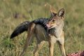 Jackal in the wild tanzania national parks Stock Image