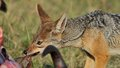 Jackal in the wild tanzania national parks Stock Photos