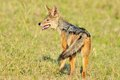 Jackal in the wild tanzania national parks Stock Photo