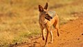 Jackal in the wild tanzania national parks Royalty Free Stock Images