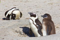Jackass penguin parent and chick Royalty Free Stock Image
