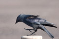 Jackdaw appears to be dancing on a post he Royalty Free Stock Photography
