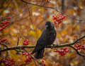 Jackdaw bird sitting at rowan tree with ripe berries Royalty Free Stock Images