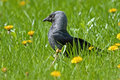 Jackdaw coloeus monedula on the grass Royalty Free Stock Images