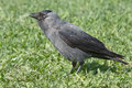Jackdaw coloeus monedula on the grass Stock Photo