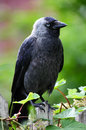 Jackdaw corvus monedula sitting in a park Stock Image