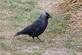Jackdaw on grassy slope single searching for food a Stock Images