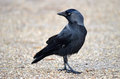 Jackdaw a looking behind him Royalty Free Stock Photography
