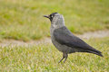 Jackdaw this is the portrait of a Royalty Free Stock Images