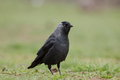 Jackdaw portrait on a grass Royalty Free Stock Photography