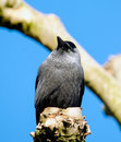 Jackdaw sitting cut back treetop Royalty Free Stock Photos
