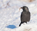 Jackdaw on snow Stock Image