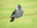 A jackdaw on wire looking forward this is cute close up of Royalty Free Stock Photo